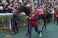October 07, 2018, Longchamp, FRANCE - Tiberian (No. 8) in the Parade Ring before the Qatar Prix de l'Arc de Triomphe (Gr. I) at  ParisLongchamp Race Course  [Copyright (c) Sandra Scherning/Eclipse Sportswire)]