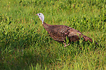 Hen wild turkey feeding in a summer field in northern Wisconsin.