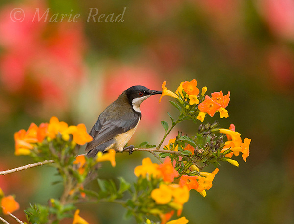 Eastern Spinebill (Acanthorhynchus tenuirostris), sipping nectar from orange flowers Atherton Tableland, Queensland, Australia.