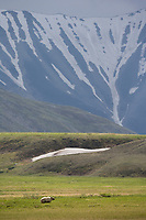 Grizzly bear on tundra, Denali National Park, Alaska