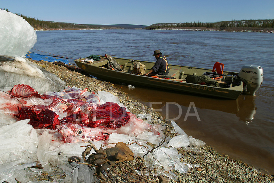 The Vuntut Gwitchin First Nation hunt caribou twice a year, every spring and every autumn, on the Porcupine River near Old Crow, Yukon Territory, Canada. A hunter sits in his boat after butchering a Porcupine caribou on the banks of the Porcupine River.