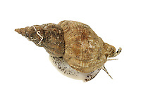 Common Whelk - Buccinum undatum