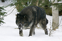Grey Wolf stalking through the snow - CA