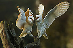 A blind barn owl (right) holds a mouse by the scruff of its neck as she leans forward to feed it to her hungry fledgling (left).  The 12-year-old mother, named Tyto, who can no longer see at all, caught the mouse through an exceptional sense of hearing.<br /> <br /> The seven-month-old male - named Uli - eats the mouse straight away, swallowing it head first.  Having spent 10 years in the wild - well exceeding the four year life expectancy for a barn owl, Tyto now lives with her offspring in Topvogel Nature Park in Diessen, Holland.  SEE OUR COPY FOR DETAILS.<br /> <br /> Please byline: Marta Demarteau/Solent News<br /> <br /> © Marta Demarteau/Solent News & Photo Agency<br /> UK +44 (0) 2380 458800