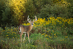White-tailed buck in late summer