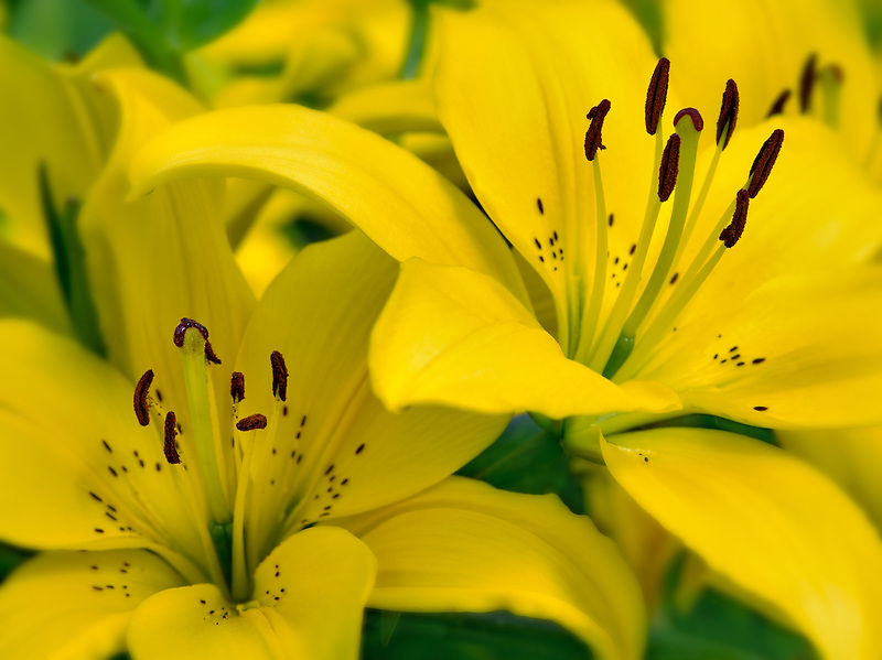 Sunray Lily. Oregon