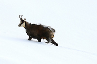 Side view of a chamois buck walking through the snow