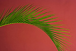 Palm frond, Puerto Rico