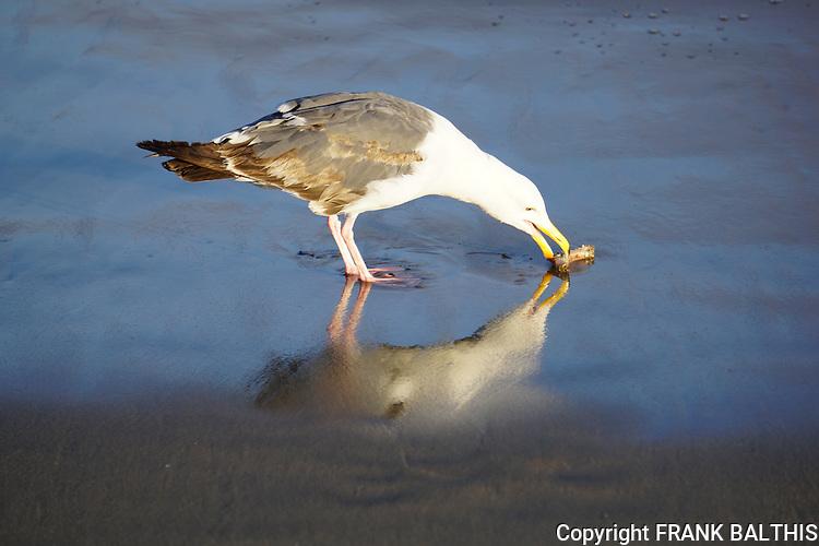 Western gull feeding