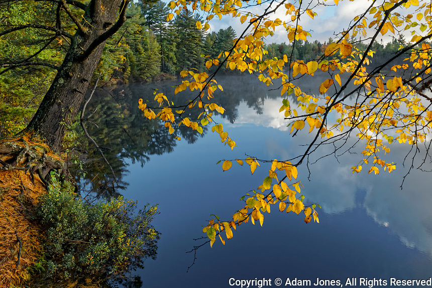 Yellow Birch leaves overhanging Tahquamenon River at sunrise, near Paradise, Michigan, Upper Peninsula of Michigan.