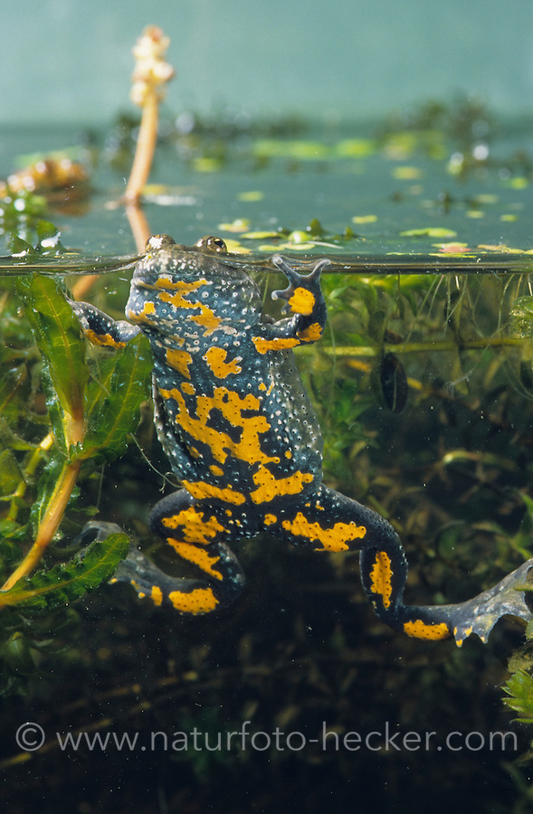 Rotbauchunke, Rotbauch-Unke, Rotbauch - Unke, Tieflandunke, Tiefland-Unke, Bombina bombina, fire-bellied toad