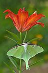 Luna Moth (Actias luna) on lily