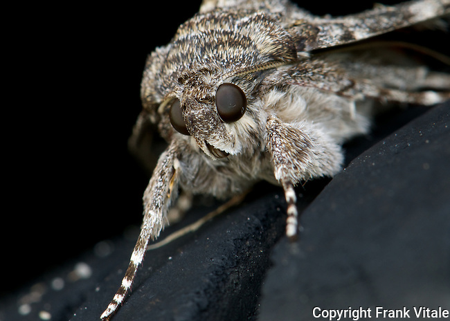 Wife Underwing Moth Seeks Shade on a Car Tire on a Hot Summer's Day