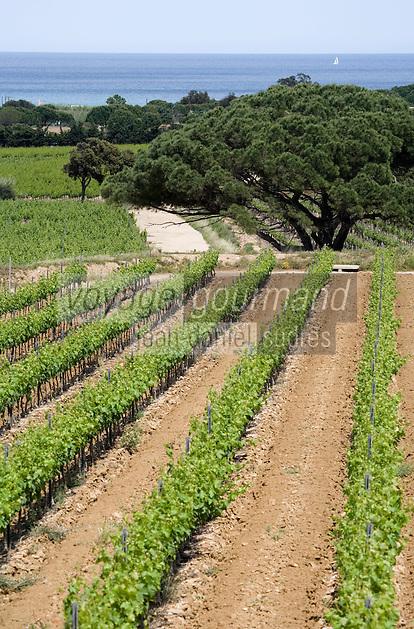 Europe/Provence-Alpes-Côte d'Azur/83/Var/Saint-Tropez: le vignoble AOC Côtes de Provence vers Cap Camarat
