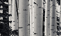 Winter Aspens in Black & White - Arizona