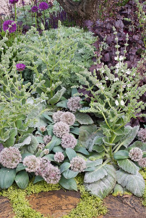 Allium karataviense and Salvia sclarea, purple Heuchera and Allium for a gray silver and purple garden color theme using perennials and ornamental bulbs