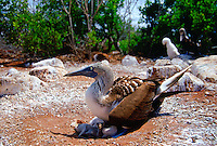 Blue-footed Booby bird on the Galapagos Islands, Ecuador  sheltering young birds