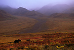 Grizzly Bears (Ursus arctos) Denali National Park, AK