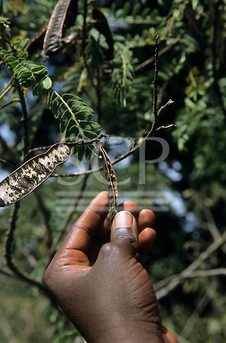 Lolgorian, Kenya. Siria Maasai; medicinal plant 'Osenetoi'; used for de-worming, with a man's hand. Senna didymobotrya.
