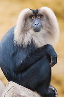 Germany, DEU, Muenster, 2007Jun05: A lion-tailed macaque (Macaca silenus) sitting in the Muenster zoo.