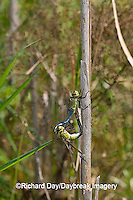 06361-006.13 Common Green Darners (Anax junius) male & female in copulation wheel, Prairie Ridge SNA Marion Co.  IL