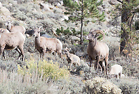 Bighorn sheep near Clear Creek Reservoir, north of Buena Vista