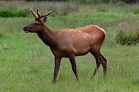 A young Roosevelt elk (Cervis elaphus roosevelti), with velvet still on its antlers, grazes in Elk Meadow in Prairie Creek Redwoods State Park near Orick, California. A yearling Roosevelt elk bull is called a spike.