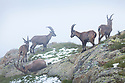 Alpine Ibex {Capra ibex ibex} group in fog on mountainside. French Alps, France.
