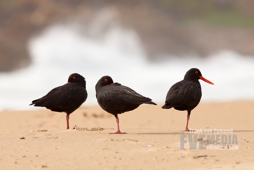 African Oyster Catcher (Haematopus moquini), Robberg Nature Reserve, South Africa.