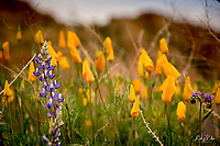 """Poppies and Lupine bloom across the landscape near Apache Trail in central Arizona during a season of """"Superbloom"""" during a very wet winter in the desert."""