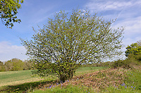 Hazel - Corylus avellana Betulaceae - spring. Height to 6m Multi-stemmed shrub, or short tree. Bark Smooth, shiny, peeling into papery strips. Branches Upright to spreading. Twigs with stiff hairs, buds oval and smooth. Leaves Rounded, to 10cm long, hairy above; heart-shaped base and pointed tip. Margins double-toothed. Reproductive parts Male catkins to 8cm long, pendulous and yellow. Female flowers red and tiny; produce hard-shelled nuts. Status Common, often coppiced.