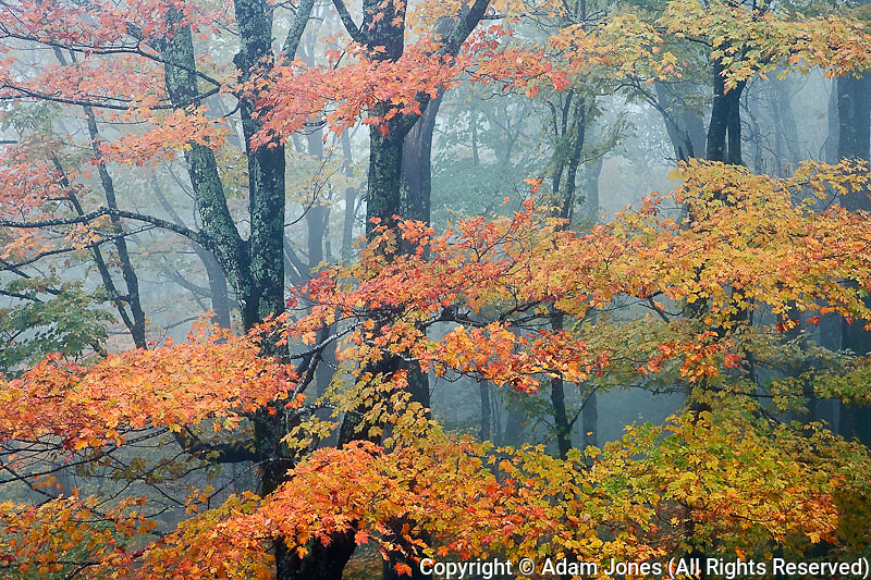 Red Maple tree, Acer rubrum, portrait in foggy forest, Pisgah National Forest, North Carolina