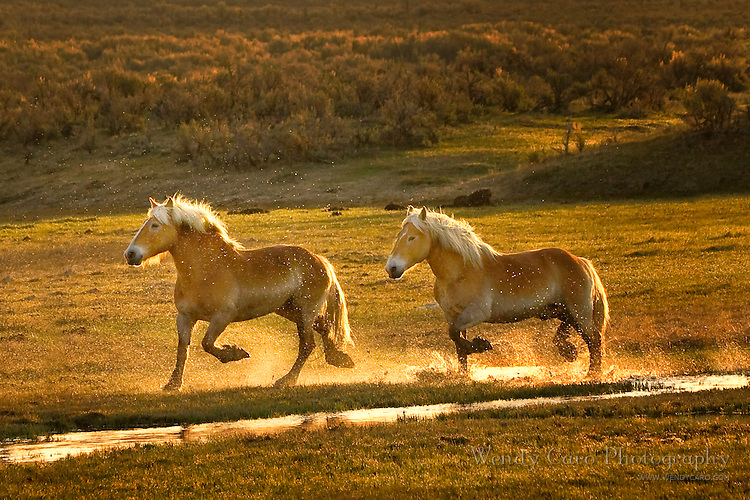 Two Belgian draft horses trotting along creek backlit in early morning light