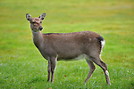 A SIka fawn grazes on Killarney Golf Course.<br /> Picture by Don MacMonagle