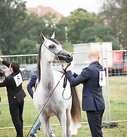 Arabian Horse and handler, getting ready in the warm up arean at Arabian Horse Society show in Prague 2017