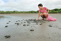olive ridley sea turtle hatchling on beach, Lepidochelys olivacea, young woman guards the turtles as part of a sustainable use project that is being run by the community, Ostional, Costa Rica, Pacific Ocean