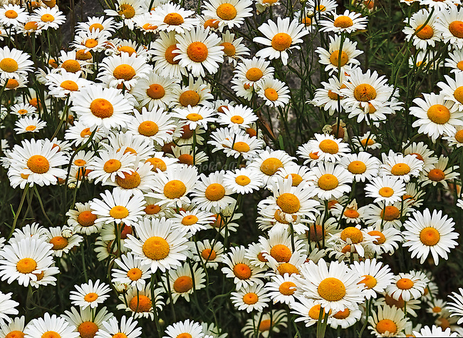 A large patch of Oxeye Daisies.
