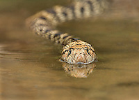 412850012 a wild bullsnake pituophis catenifer sayi swims and drinks in a small pond in the rio grande valley of south texas