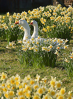 White geese and daffodils, Chipping, Lancashire