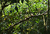 Fazenda Bauplatz, Parana State, Brazil. Atlantic rain forest vegetation; saprophytic plants growing on a stem.