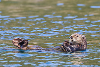Sea otter lays on its back swimming in Ester Passage, Prince William Sound, Alaska.