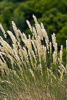 Wimper-Perlgras, Östliches Wimper-Perlgras, Melica ciliata, hairy melic, silky spike melic, Eyelash Pearl Grass, Mélique ciliée
