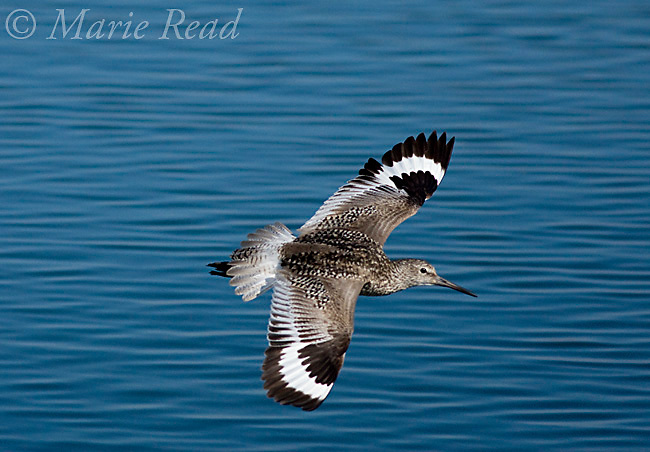 Willet (Catoptrophorus semipalmatus), adult in flight showing the distinctive white patches on its wings, Bolsa Chica Ecological Reserve, California, USA