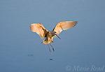Marbled Godwit (Limosa fedoa) landing, Bolsa Chica Ecological Reserve, California, USA