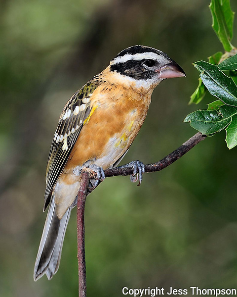 Black-headed Grosbeak, Southeastern Arizona