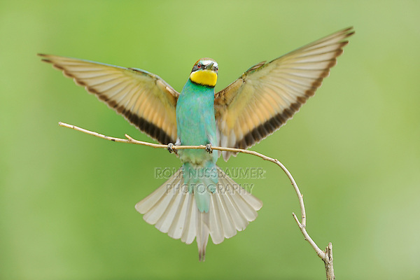European Bee-eater (Merops apiaster), adult landing, Hungary, Europe