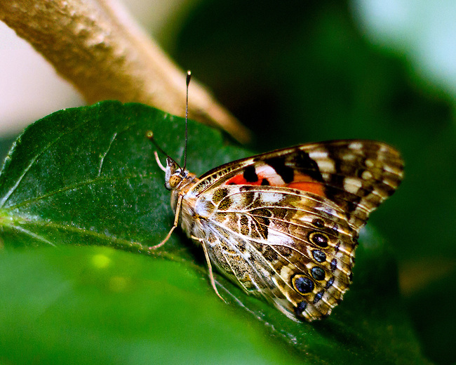 A Painted Lady sitting on a dark green leaf showing the underside of her left wings and a portion of the top of her right wing. Snout, antennae, legs and head are pronounced.