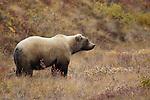 Grizzly bear, Denali National Park, Alaska, USA
