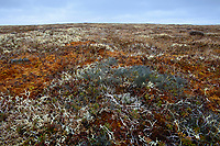 Nest and eggs of Ruddy Turnstone (Arenaria interpres) camouflaged in a tundra landscape. Yukon Delta National Wildlife Refuge. Alaska. June.