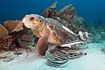 Caretta caretta, Loggerhead sea turtle, Florida Keys